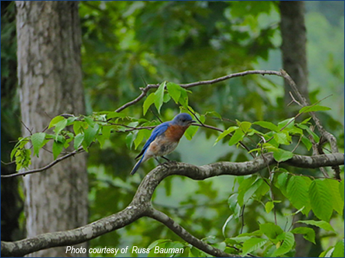 bluebird-in-tree
