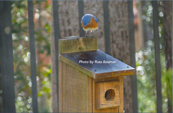 bluebird-on-nestbox